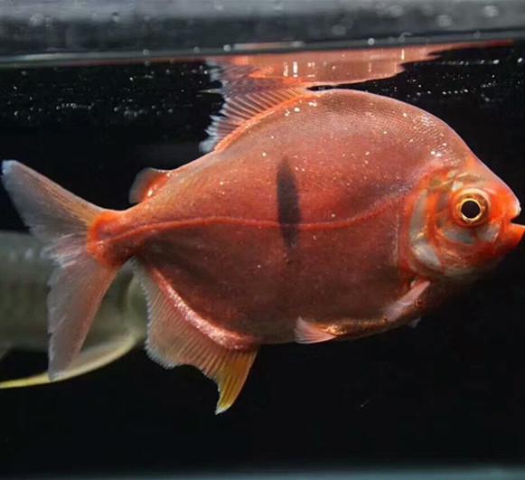 广水玫瑰银版鱼 广水水族新品 广水龙鱼第2张