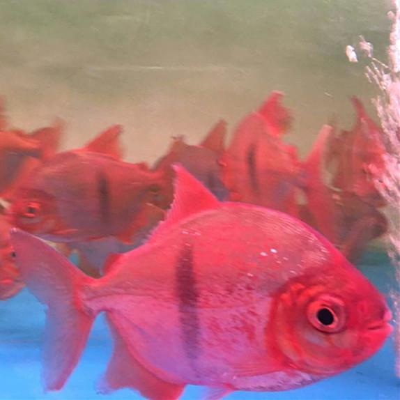 广水玫瑰银版鱼 广水水族新品 广水龙鱼第3张