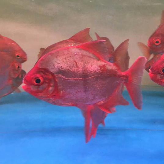 广水玫瑰银版鱼