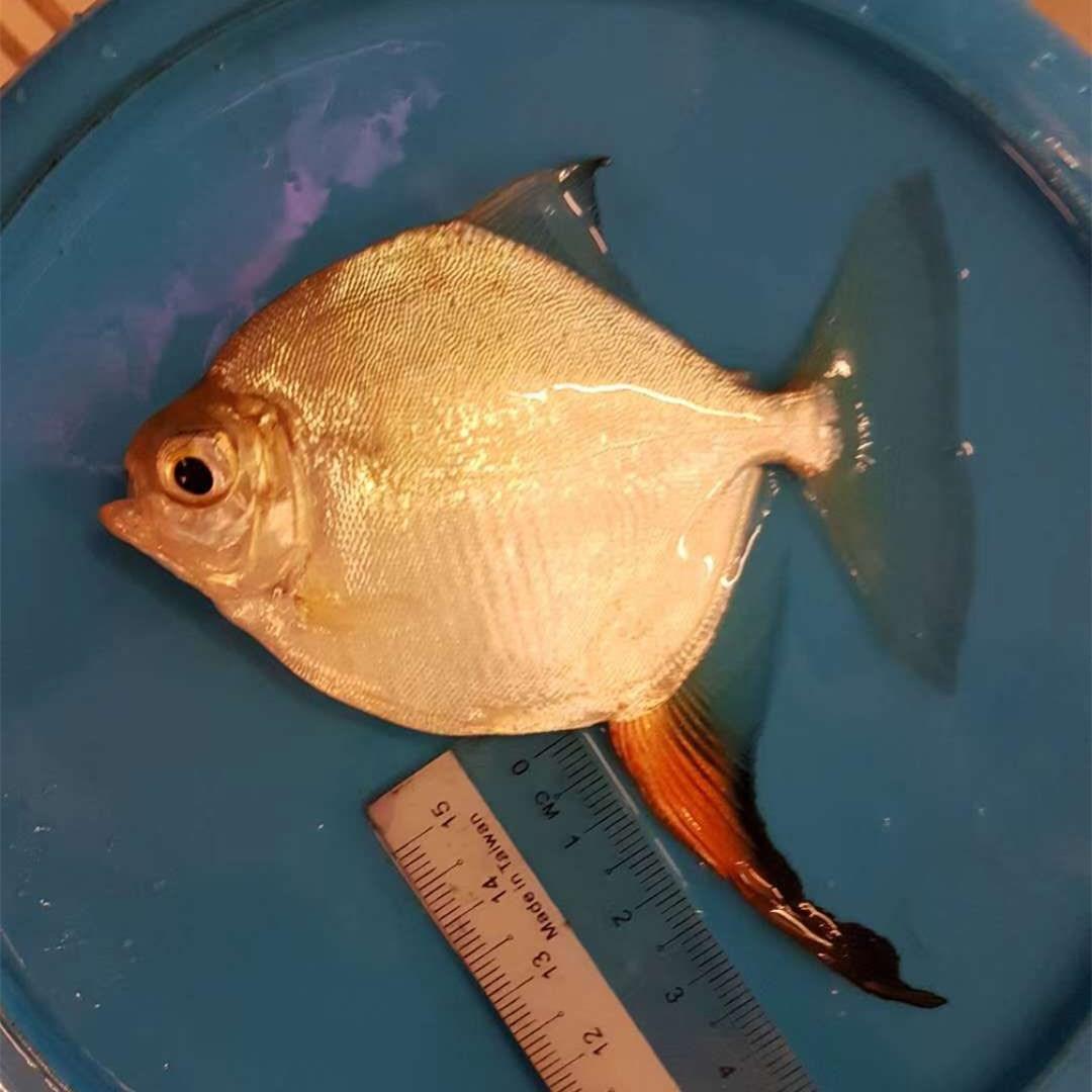 广水红勾银版鱼